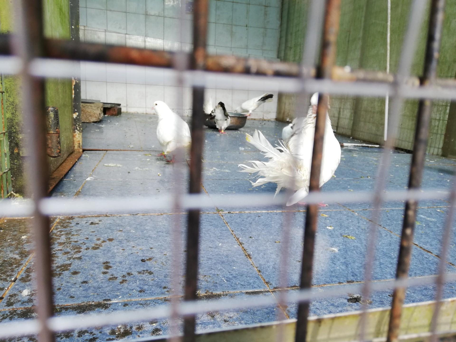 龍華酒店 飼育されてる鳩
